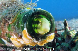 Small goby and friend living in a coral encrusted bottle by Niall Deiraniya